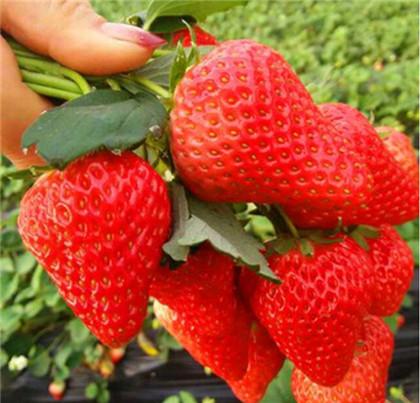 红颜99草莓苗