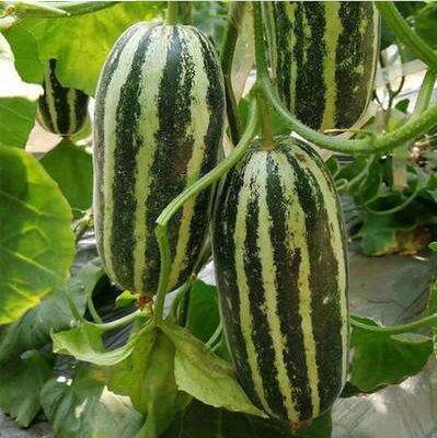 博洋九甜瓜种苗育苗厂