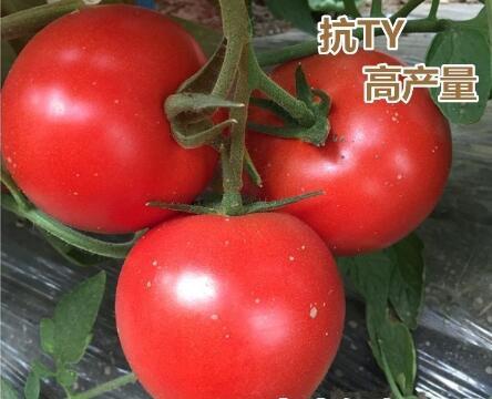 齐大力大红西红柿苗基地