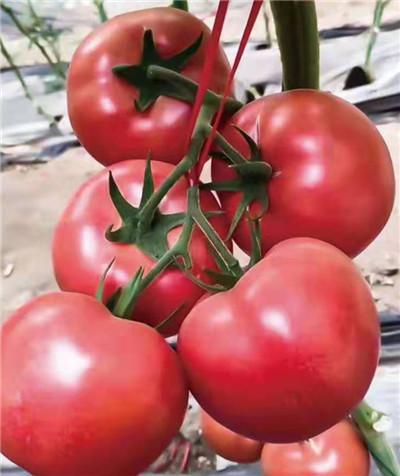 寿光好的西红柿苗品种