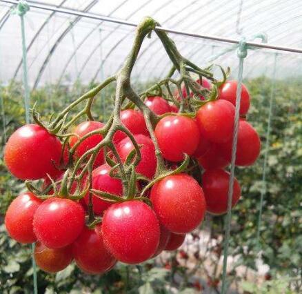 釜山88苗,釜山88小番茄苗,品质圣女果苗