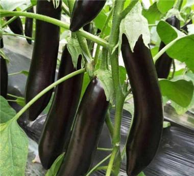 茄子苗基地好品种