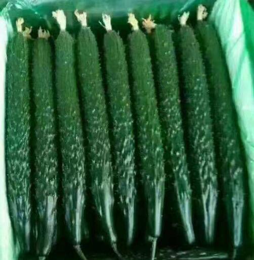 德瑞特65越夏黄瓜苗,耐热品种