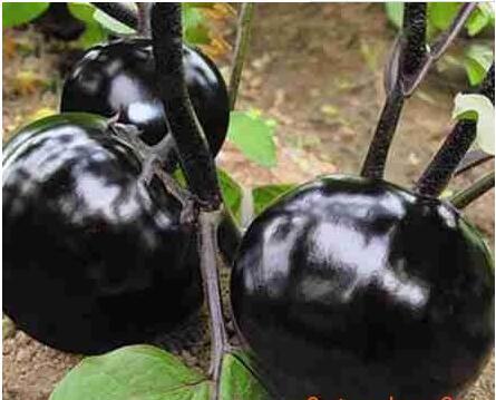 黑宝圆茄苗——嫁接圆茄苗/种子