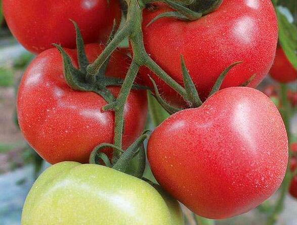 莱顿一号西红柿——秋延种植品种