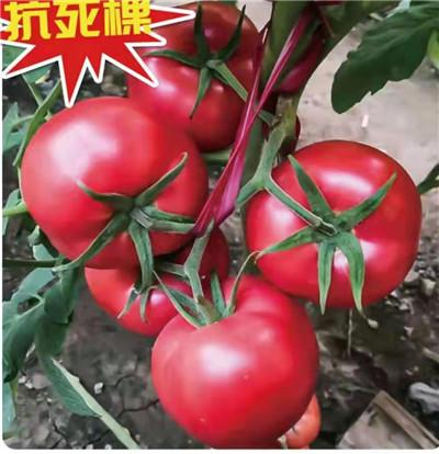 洛奇3号西红柿——秋延越冬西红柿品种
