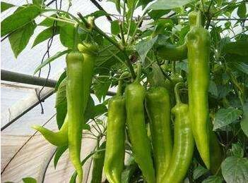 大果尖椒苗基地,进口辣椒种苗/种子