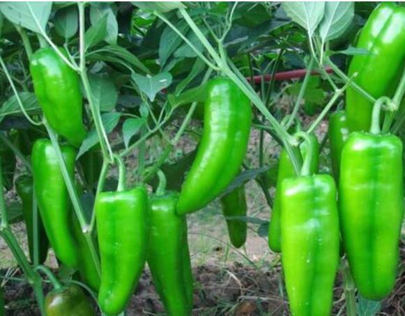辣椒苗品种,代育高川辣椒种苗,绿皮辣椒种苗价格