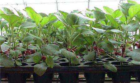 圆茄嫁接苗苗场,出售嫁接茄子苗品种价格