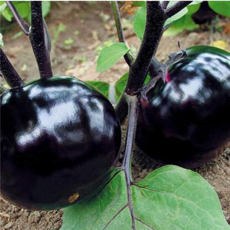 圆茄苗品种