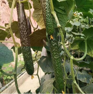嫁接黄瓜苗品种,早春越冬育苗品种强雌系列