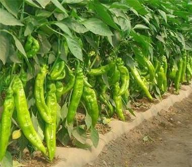 黄绿皮尖椒苗