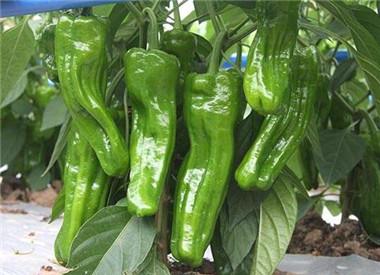 薄皮椒辣椒苗品种