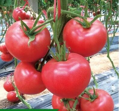 西红柿苗硬粉高产品种 好的西红柿苗苗厂品种