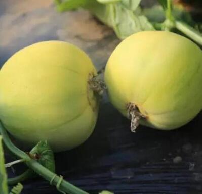日本甜宝甜瓜苗品种 甜瓜苗苗厂
